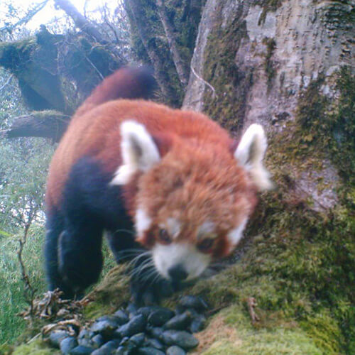 Rare red panda spotted in Dhading